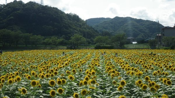 From Nanohana to Himawari. From Nanohana to Himawari. sunflowers