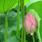 Lotus Garden Lotus Garden img 6006 2 2