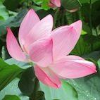 Lotus Garden Lotus Garden img 6025 2