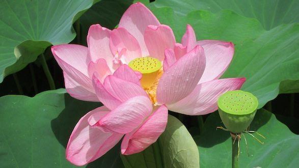 Lotus Garden Lotus Garden img 6050 2